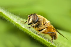 Macro de la abeja en naturaleza verde Imagen de archivo libre de regalías