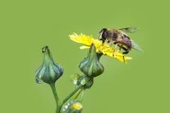 Macro de la abeja en naturaleza verde Imagenes de archivo