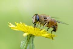 Macro de la abeja en naturaleza verde Fotos de archivo libres de regalías