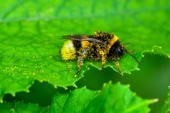 Macro de la abeja en naturaleza verde Foto de archivo