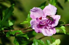 Macro de la abeja en una flor del hibisco Foto de archivo