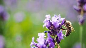 Macro de la abeja en una planta de Lavanda Foto de archivo libre de regalías