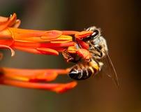 Macro de la abeja que cuelga sobre una flor anaranjada Foto de archivo libre de regalías