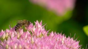 Macro de la abeja que recolecta el polen del Milkweed