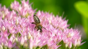 Macro de la abeja que recolecta el polen del Milkweed metrajes