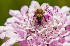 Macro de la abeja que se sienta en la flor púrpura Imágenes de archivo libres de regalías