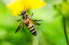 Macro de la abeja y de la araña en naturaleza verde Fotografía de archivo