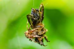 Macro de la abeja y de la araña en naturaleza verde Imagenes de archivo