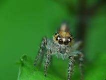 Macro de la araña Fotografía de archivo