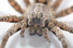 Macro de la araña de lobo Fotografía de archivo libre de regalías