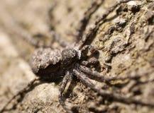 Macro de la araña del cangrejo en un árbol Foto de archivo libre de regalías