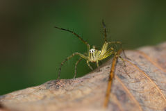 Macro de la araña del lince Fotografía de archivo