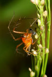 Macro de la araña del lince Imágenes de archivo libres de regalías
