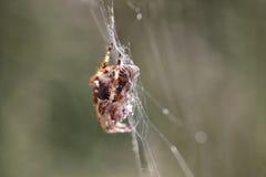Macro de la araña y del web Foto de archivo