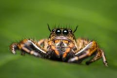 Macro de la araña de salto Foto de archivo