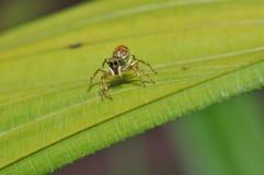 Macro de la araña de salto colorida Fotos de archivo libres de regalías