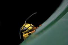 Macro de la avispa Foto de archivo libre de regalías