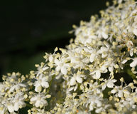 Macro de la baya del saúco floreciente Imágenes de archivo libres de regalías