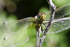 MACRO de la cara de la libélula Imágenes de archivo libres de regalías