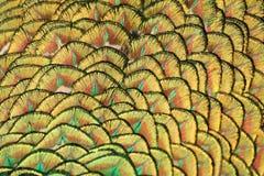 Macro de la cola del pavo real Imagenes de archivo