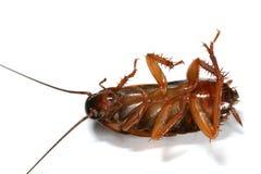 Macro de la cucaracha Fotos de archivo libres de regalías
