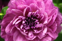 Macro de la dalia floreciente de la lavanda Fotografía de archivo libre de regalías
