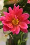 Macro de la dalia floreciente de la lavanda Foto de archivo libre de regalías