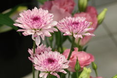 Macro de la dalia floreciente de la lavanda Imagen de archivo