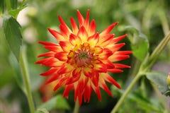 Macro de la dalia floreciente roja Fotos de archivo