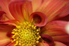 Macro de la dalia floreciente roja Foto de archivo libre de regalías