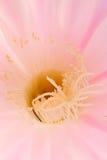 Macro de la fleur de Succilent Image libre de droits