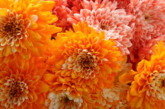 Macro de la flor anaranjada del aster Fotos de archivo