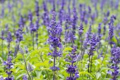 Macro de la flor azul de Salvia y de x28; sage& azul x29; con la abeja Imagen de archivo