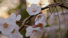 Macro de la flor de cerezo almacen de metraje de vídeo