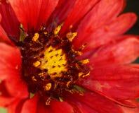 Macro de la flor combinada roja Foto de archivo