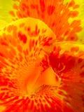 Macro de la flor de Canna Fotografía de archivo
