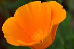Macro de la flor de la amapola Foto de archivo libre de regalías
