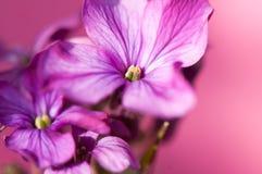 Macro de la flor de la honradez Fotos de archivo libres de regalías