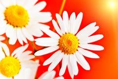 Macro de la flor de la manzanilla de la margarita Fotografía de archivo