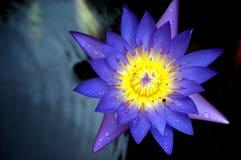 Macro de la flor de loto Imagen de archivo