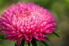 Macro de la flor del aster Fotos de archivo libres de regalías