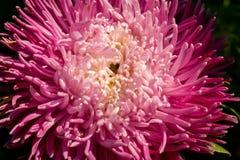 Macro de la flor del aster Imágenes de archivo libres de regalías