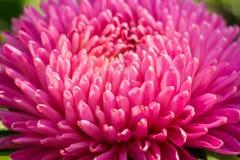Macro de la flor del aster Imagen de archivo