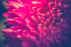 Macro de la flor del aster filtrada Foto de archivo