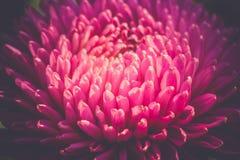 Macro de la flor del aster filtrada Fotografía de archivo libre de regalías