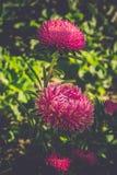 Macro de la flor del aster filtrada Imagen de archivo