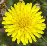 Macro de la flor del diente de león Imagen de archivo libre de regalías