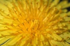 Macro de la flor del diente de león Imagen de archivo