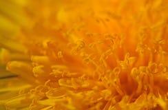 Macro de la flor del diente de león Imagenes de archivo