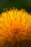 Macro de la flor del diente de león Fotografía de archivo